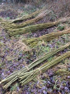 bundles of coppiced willow