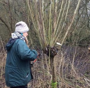 coppicing willow rods
